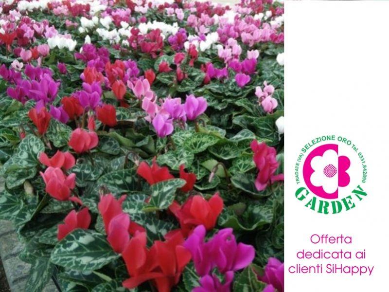offerta ciclamini mini-promozione piante autunno inverno clienti sihappy-bengarden-varese